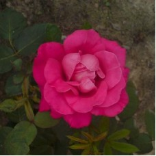 Роза чайно-гибридная Пинк Пис