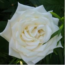 Роза чайно-гибридная Полаштерн