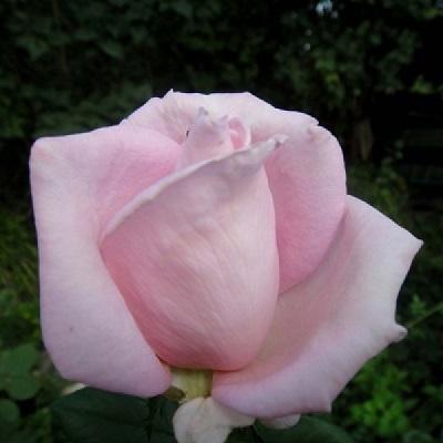Роза чайно-гибридная Роял Хагнесс