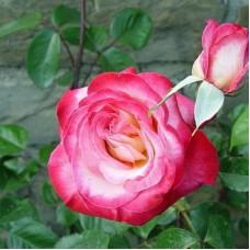 Роза чайно-гибридная Роза Гожар