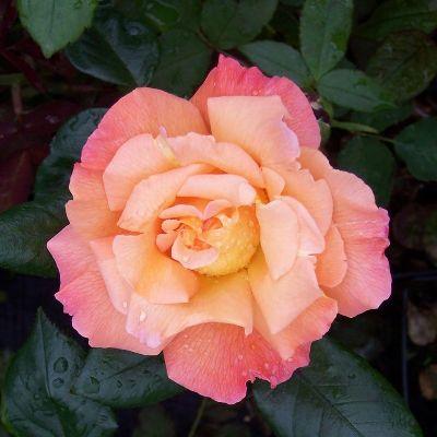 Роза чайно-гибридная Розмари Хагнесс