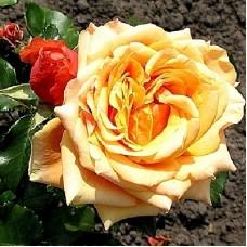 Роза чайно-гибридная Шантрэ