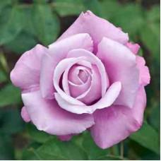 Роза чайно-гибридная Шарль де Голль (Rose Charles De Gaulle)