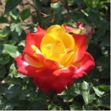 Роза чайно-гибридная Шато Жискур (Rose Chateau Giscours)