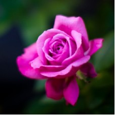 Роза чайно-гибридная Виолет Парфюм (Violette Parfume)