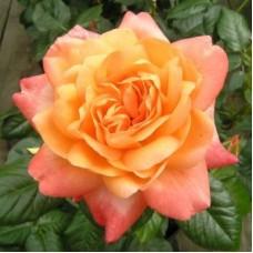 Роза Хакнесс чайно-гибридная Самаритен