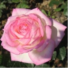 Роза Мейян чайно-гибридная Принцесс де Монако