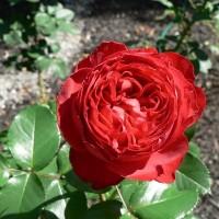Роза Мейян чайно-гибридная Травиата