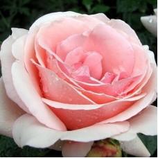 Роза Тантау чайно-гибридная Афродита
