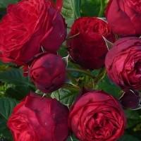 Роза Тантау чайно-гибридная Пиано