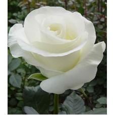 Роза чайно-гибридная Акито (Rose  Akito)