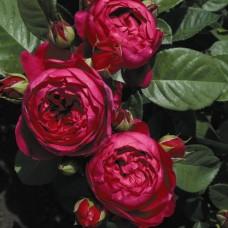 Роза чайно-гибридная Аскот (Rose Ascot)