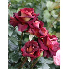 Роза чайно-гибридная Эдди Митчелл (Rose Eddy Mitchell) -  штамб (Люкс: 3 и более прививок)