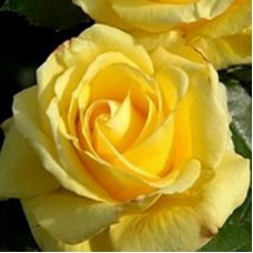 Роза чайно-гибридная Голд Глоу