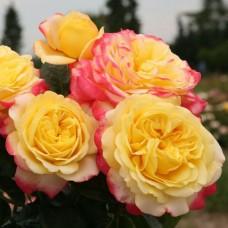Роза чайно-гибридная Кордес Джубили