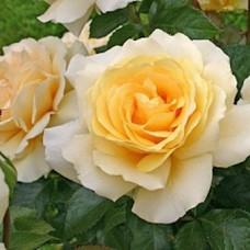 Роза чайно-гибридная Кордес  Винтер Сан