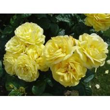 Роза чайно-гибридная Лючия