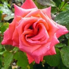 Роза чайно-гибридная Мисчиф