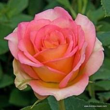 Роза чайно-гибридная Мондиале