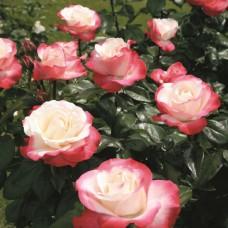 Роза чайно-гибридная Ностальжи - штамб (Люкс: 3 и более прививок)