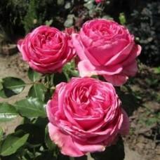 Роза чайно-гибридная Огюст Ренуар