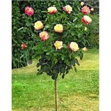 Роза чайно-гибридная Пульман Ориент Экспресс - штамб (Люкс: 3 и более прививок)
