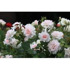 Роза чайно-гибридная Свит Лав (Чандос Бьюти) - штамб (Люкс: 3 и более прививок)