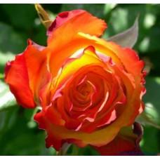 Роза чайно-гибридная Ту Колор