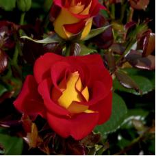 Роза Флорибунда Кетчуп Мастад - штамб (Люкс: 3 и более прививок)