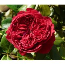 Роза Мейян чайно-гибридная Алан Сушон