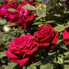 Роза Мейян чайно-гибридная Ботеро