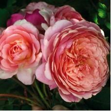 Роза парковая Гийо Прикс П.Ж.Редут