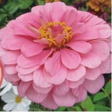 Цинния низкорослая Розовая