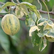 Цитрус Лимон Вариегата