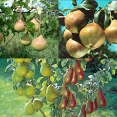 Дерево-сад (2-3х, 3-4х летка) груша 2 сорта  Любимица Яковлева - Осенняя Яковлева
