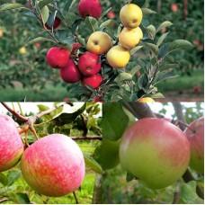 Дерево-сад (2-3х, 3-4х летка) яблоня 2 сорта Богатырь - Конфетное