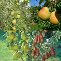 Дерево-сад (2-3х, 3-4х летка) груша 2 сорта Чижовская - Лада