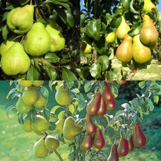 Дерево-сад (2-3х, 3-4х летка) груша 2 сорта  Чудесница - Августовская роса