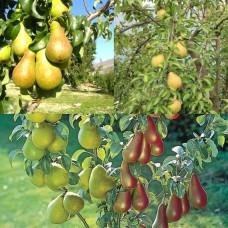 Дерево-сад (2-3х, 3-4х летка) груша 2 сорта  Чудесница - Чижовская