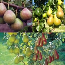 Дерево-сад (2-3х, 3-4х летка) груша 2 сорта  Чудесница - Мраморная