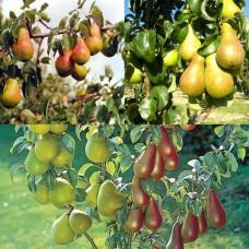 Дерево-сад (2-3х, 3-4х летка) груша 2 сорта  Чудесница - Ника