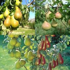 Дерево-сад (2-3х, 3-4х летка) груша 2 сорта  Чудесница - Память Яковлева