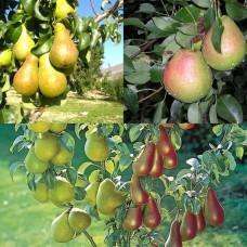 Дерево-сад (2-3х, 3-4х летка) груша 2 сорта  Чудесница - Россошанская красивая