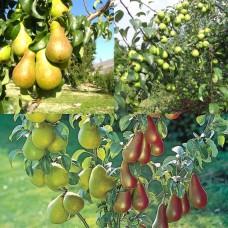 Дерево-сад (2-3х, 3-4х летка) груша 2 сорта  Чудесница - Скороспелка из мичуринска