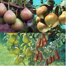 Дерево-сад (2-3х, 3-4х летка) груша 2 сорта  Любимица Яковлева - Мраморная