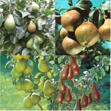 Дерево-сад (2-3х, 3-4х летка) груша 2 сорта  Любимица Яковлева - Велеса