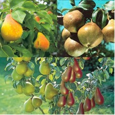 Дерево-сад (2-3х, 3-4х летка) груша 2 сорта  Любимица Яковлева - Скороспелка из Мичуринска