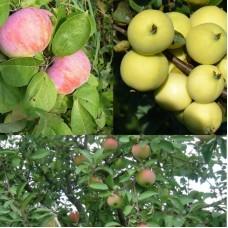 Дерево-сад (2-3х, 3-4х летка) яблоня 2 сорта  Орловим - Налив белый