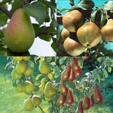 Дерево-сад (2-3х, 3-4х летка) груша 2 сорта  Любимица Яковлева - Чижовская
