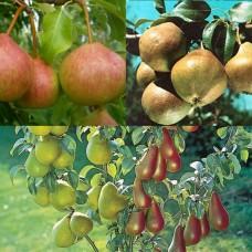 Дерево-сад (2-3х, 3-4х летка) груша 2 сорта  Любимица Яковлева - Память Яковлева